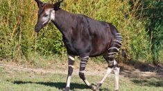 El okapi es uno de los animales más emblemáticos del mundo