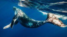 Desgraciadamente, el gobierno nipón ha vuelto a permitir la caza de ballenas