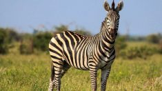 Por suerte, las cebras no han sido domesticadas como sí lo fueron los caballos, animales similares