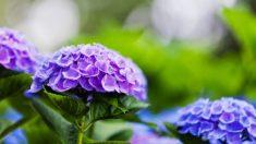 Todos los pasos para saber cómo cambiar el color de las hortensias
