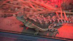 Qué animal es un dragón volador