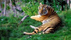 6 rasgos que tiene el tigre bengala