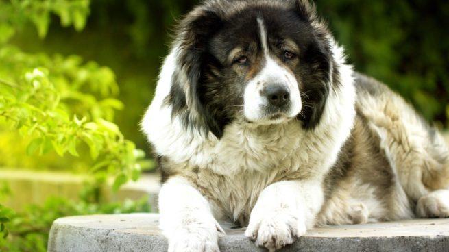 Perro pastor caucásico