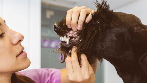 molestias dentales en tu perro
