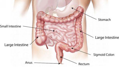 Descubre qué hace el intestino grueso