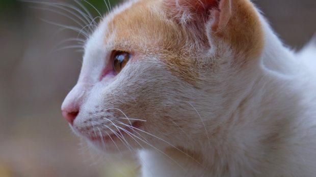 limpiar las orejas de tu gato