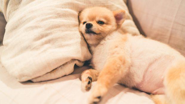 Cómo hacer una pajarita para perros sin coser