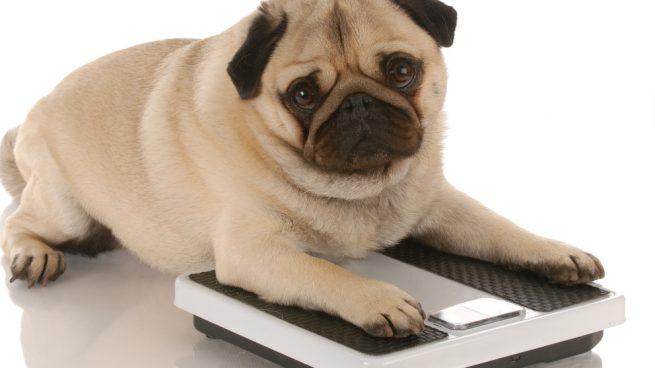 peso ideal en perros y gatos