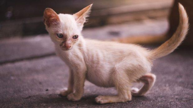 Tratamiento de la anemia en gatos