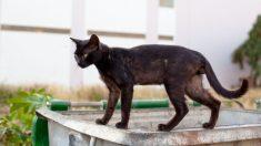 Gato delgado con anemia