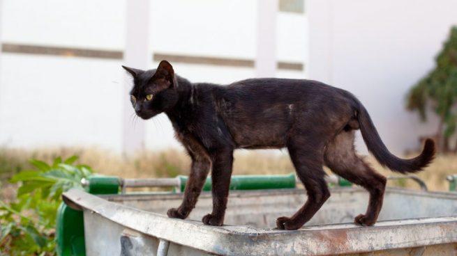anemia en gatos