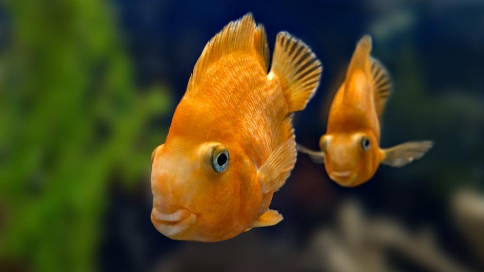 Dos peces en una pecera