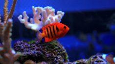Pez rojo en acuario, características