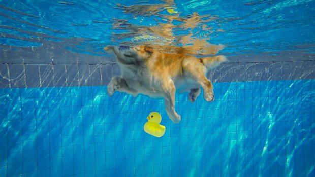 perro bañarse en la piscina