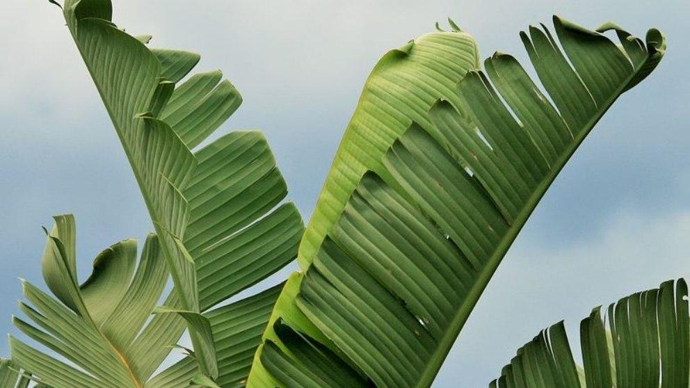 Si tienes curiosidad, descubre algo más sobre las hojas de plátano.