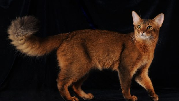 el gato somalí