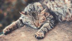 Gato siberiano enfermo cálculos urinarios