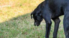 Perro mascota vomitando