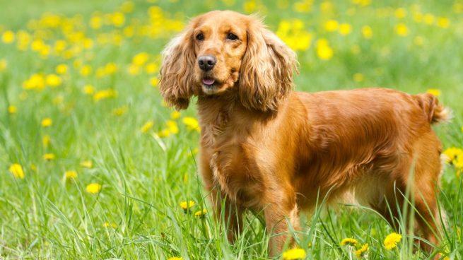 perros con orejas caídas