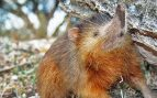 Actualmente solo existen dos especies vivas de almiquíes, las cuales pertenecen al género Solenodon.