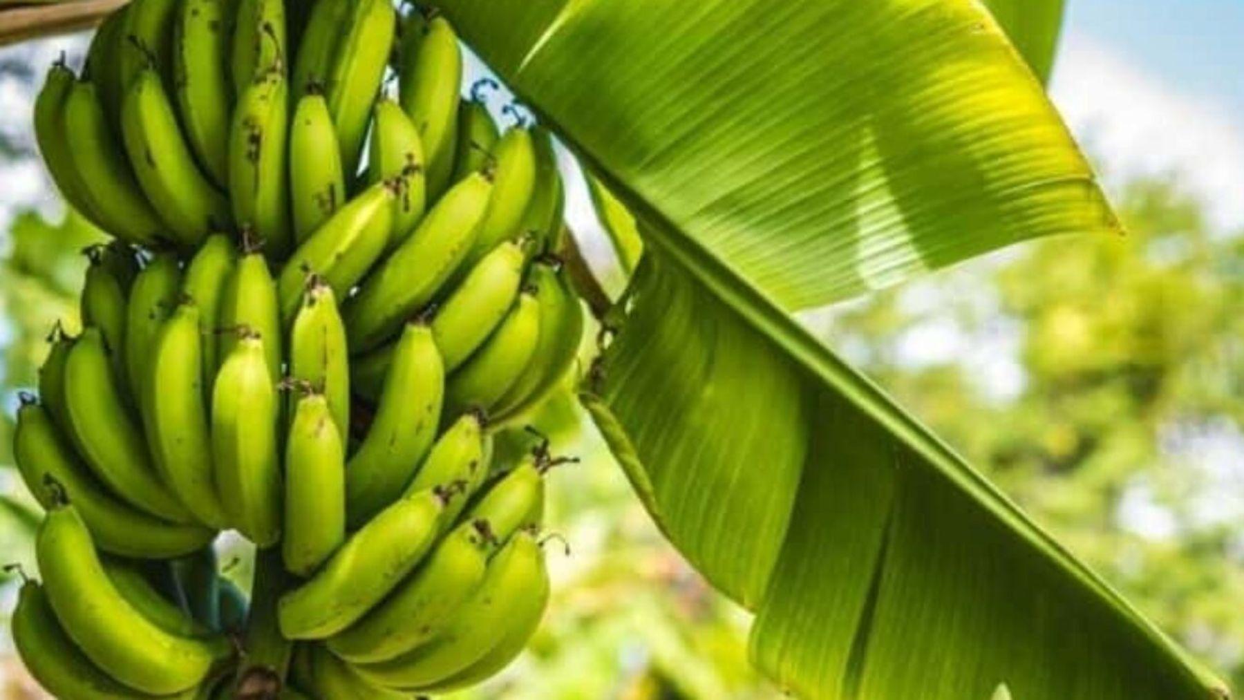 Descubre todos los beneficios que tienen las hojas de plátano