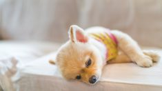 Perro con hepatitis canina