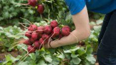 Todos los pasos para cultivar rábanos de forma fácil