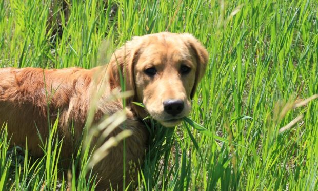 perro come hierba