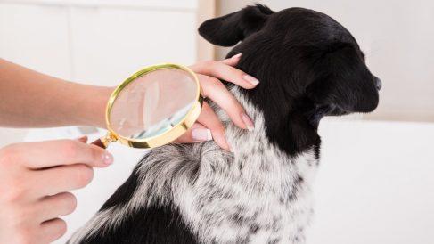 Cómo tratar los piojos en tu mascota