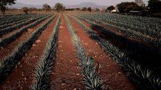 Plantación de ágave en México. (Afp)
