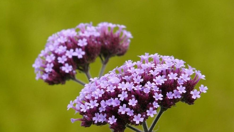 Verbena: Los destacados beneficios de esta planta