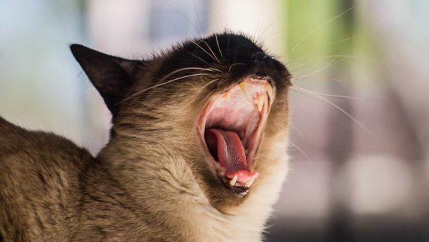 Gato abre la boca