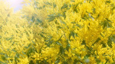 Todos lo pasos para aprender a cultivar las mimosas de forma correcta