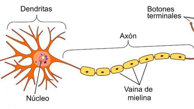 la mielina