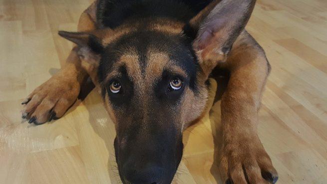 Aullido Perro Por Qué Aúlla Tu Perro Cuando Oye Ruidos
