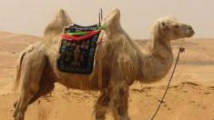 Los camellos son rumiantes que se caracterizan por tener una joroba.