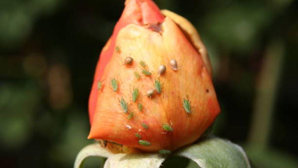 Pasos y remedios naturales para eliminar el pulgón de los rosales