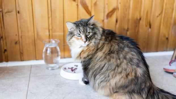 Colesterol en el gato