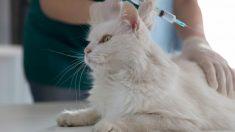 ¿Cuáles son las principales vacunas para tu gato?