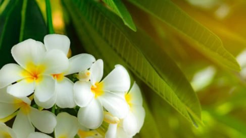 Guía para saber cómo cultivar plumerias paso a paso