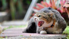 Tips básicos para tratar a un gato agresivo