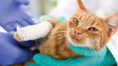 Algunas enfermedades mortales en gatos