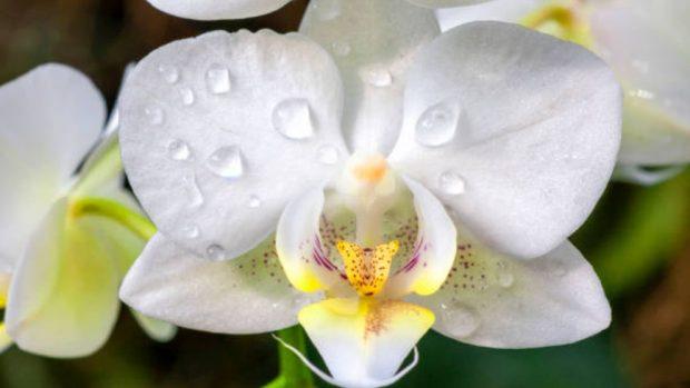 orquídeas duren más tiempo