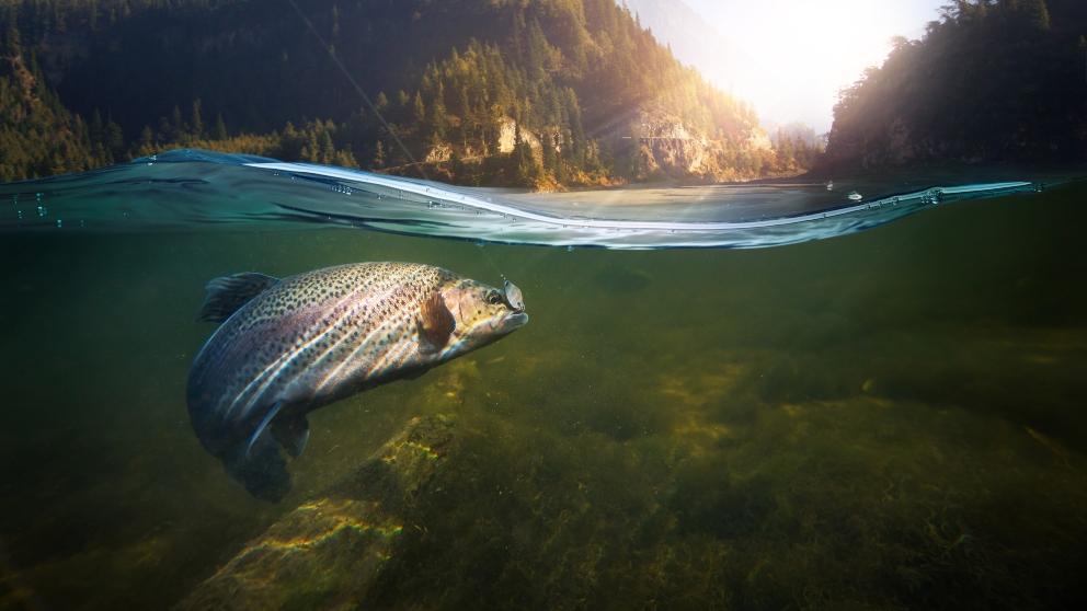 Los peces de río más conocidos