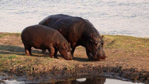 Los hipopótamos son animales que, a pesar de su gran tamaño, son muy buenos nadadores.