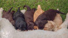 Pasos para saber cómo hacer el destete de los cachorros de perro