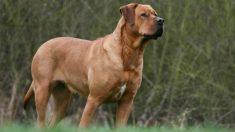 El tosa inu está considerado el perro más peligroso del mundo