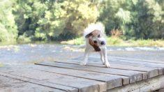 ¿Por qué tu perro se sacude con frecuencia?