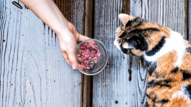 El colesterol en el gato