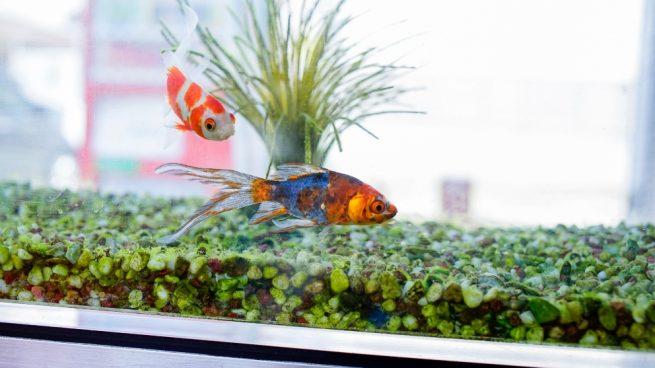 Los peces de tu acuario